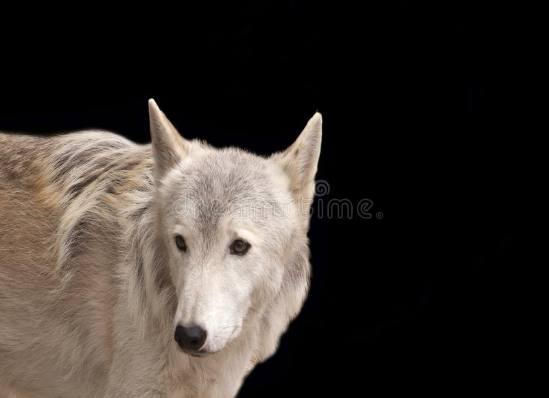 Grey wolf isolated on black. Grey wolf isolated on a black background stock images