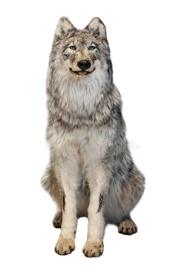 The grey wolf isolated on white background. Wild grey wolf isolated on white background royalty free stock images