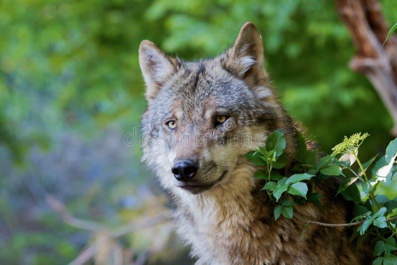 Grey Wolf - lúpus de Canis imagens de stock royalty free