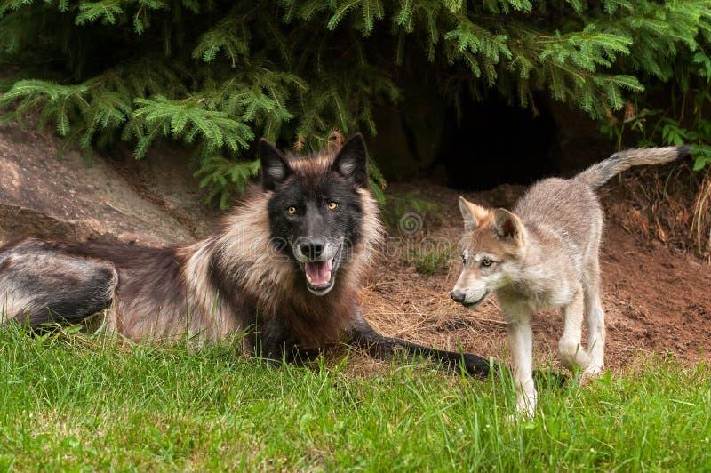 Grey Wolf (lúpus de Canis) e filhote de cachorro imagem de stock