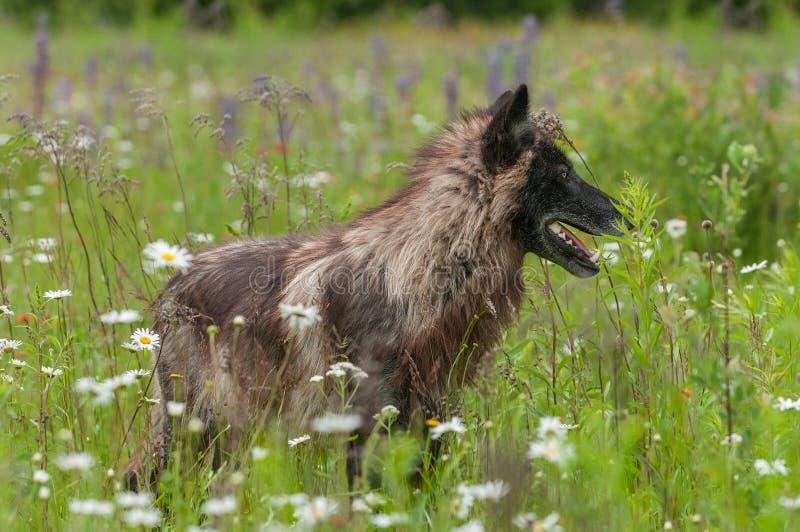 Grey Wolf (lúpus de Canis) está entre flores fotografia de stock royalty free