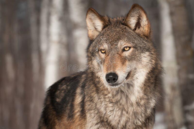 Grey Wolf (lúpus de Canis) olha à esquerda imagens de stock