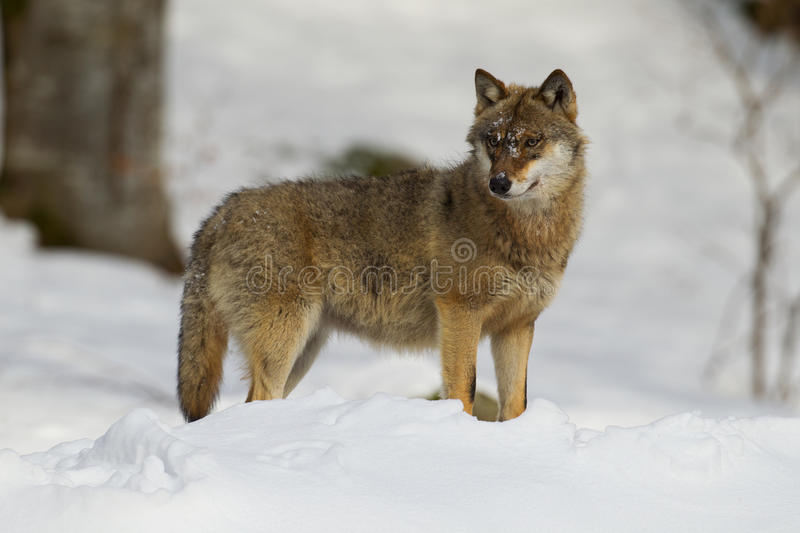 Grey Wolf on a lookout stock photo