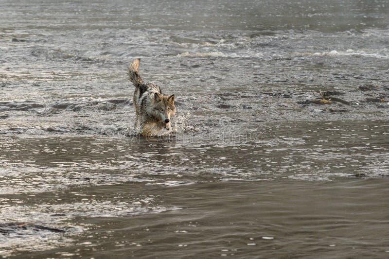 Grey Wolf (lupus de Canis) éclabousse en rivière images stock