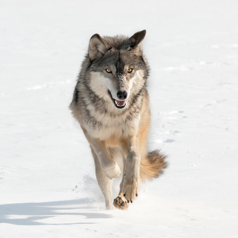 Grey Wolf (lupus de Canis) que corre derecho en el espectador fotos de archivo