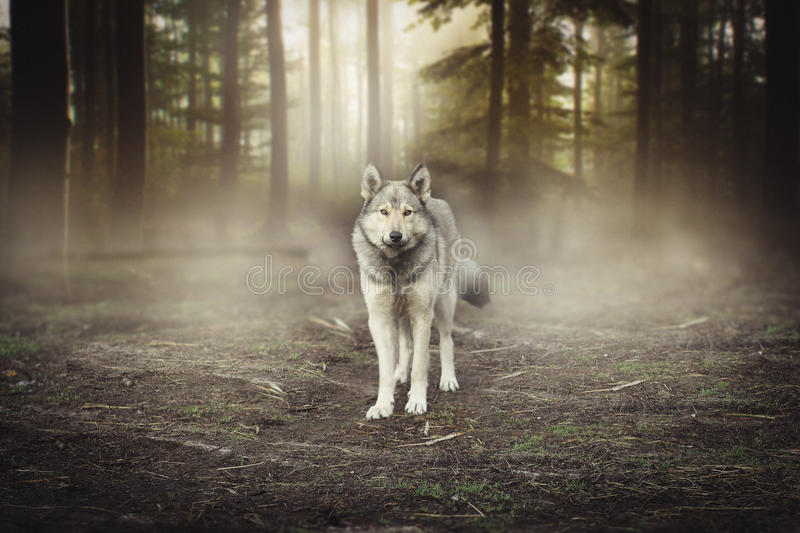 Grey Wolf Portrait - captive animal Magical forest dawn stock photography