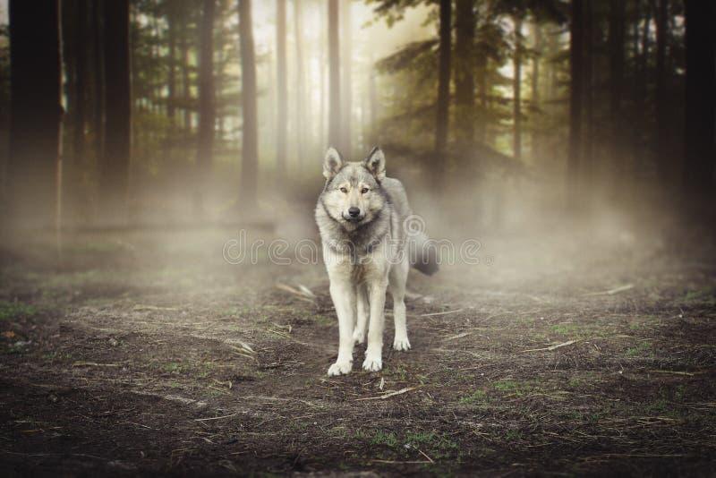 Grey Wolf Portrait - magisk skoggryning för captive djur arkivbild