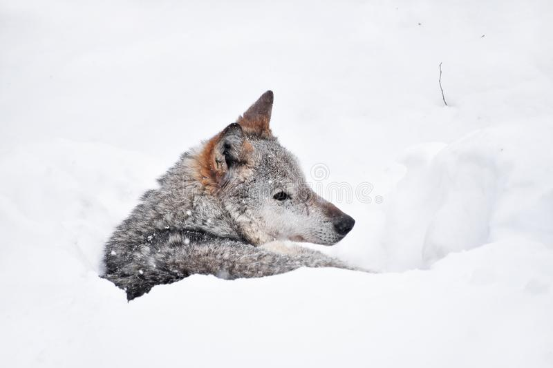 Grey wolf resting in deep snow winter den lair royalty free stock photos