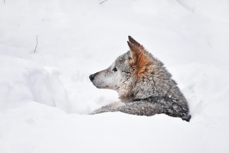 Grey wolf resting in deep snow winter den lair royalty free stock photo