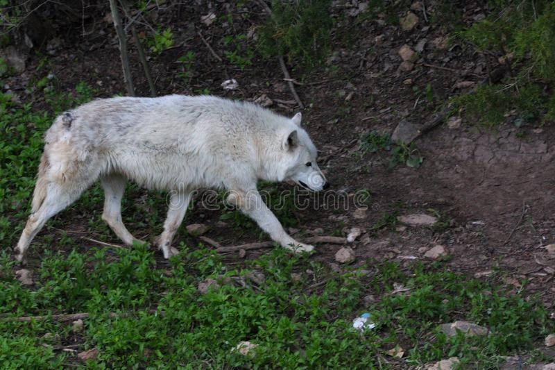 Gray Wolf on a mountain trail. Grey Wolf slowly walking down a remote trail after a all night hunt royalty free stock images