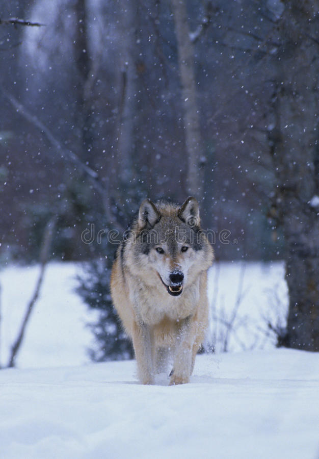 Grey Wolf in Snowstorm royalty free stock photography