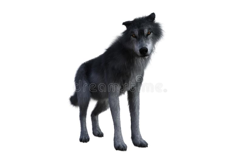 Grey wolf standing. royalty free stock image