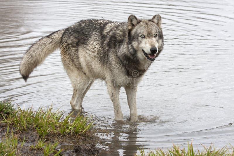 Grey Wolf Standing im Fluss stockfotos
