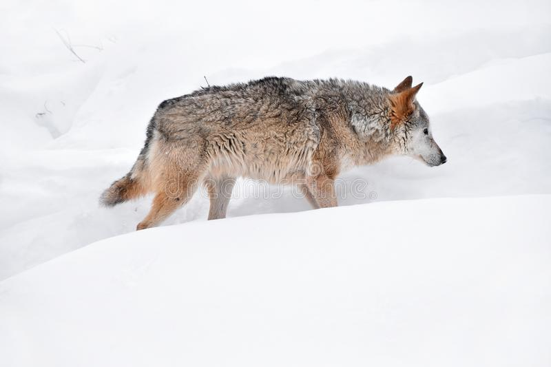 Grey wolf walking in deep winter snow stock image