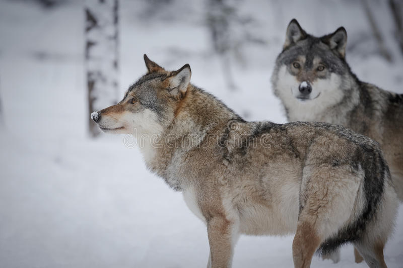 Grey wolves in the arctic winter stock photography