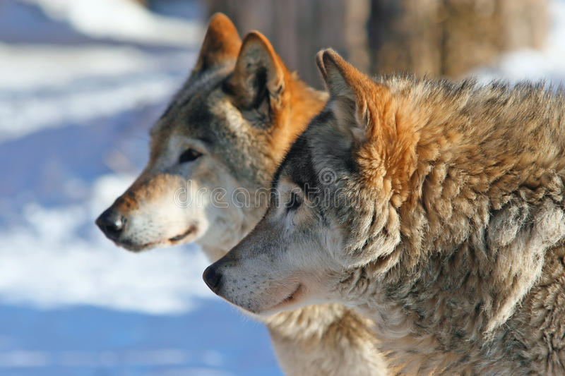 Grey wolves (canis lupus) stock images