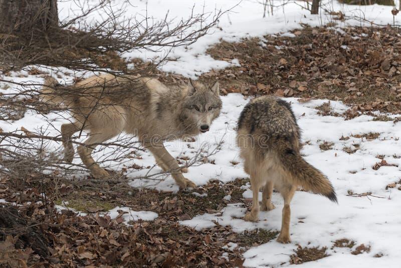 Grey Wolves Canis lupus och filialer royaltyfria foton