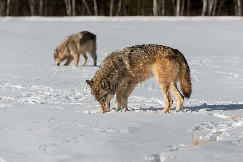Grey Wolves Canis lupus sniffar jordning i fältvinter royaltyfria foton