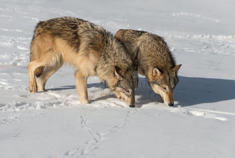 Grey Wolves Canis lupus sniffar tillsammans arkivbild