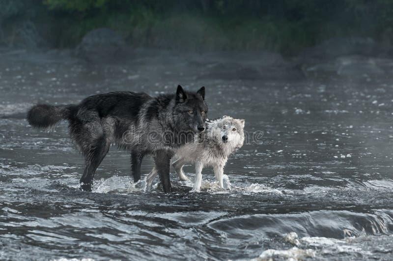 Grey Wolves Canis lupusblick ut från floden arkivbilder