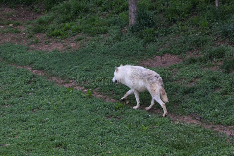 Big Male Timber Wolf Stock Images - Download 48 Royalty Free