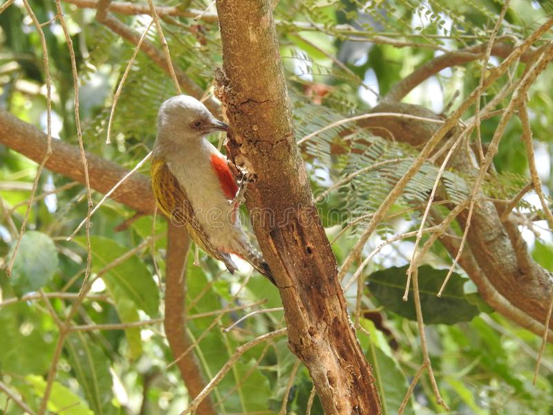 Grey Woodpecker in the mountain forest of Mt Meru stock photography