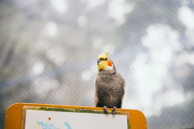 Grey and yellow cockatiel resting on top of a blank sign stock images