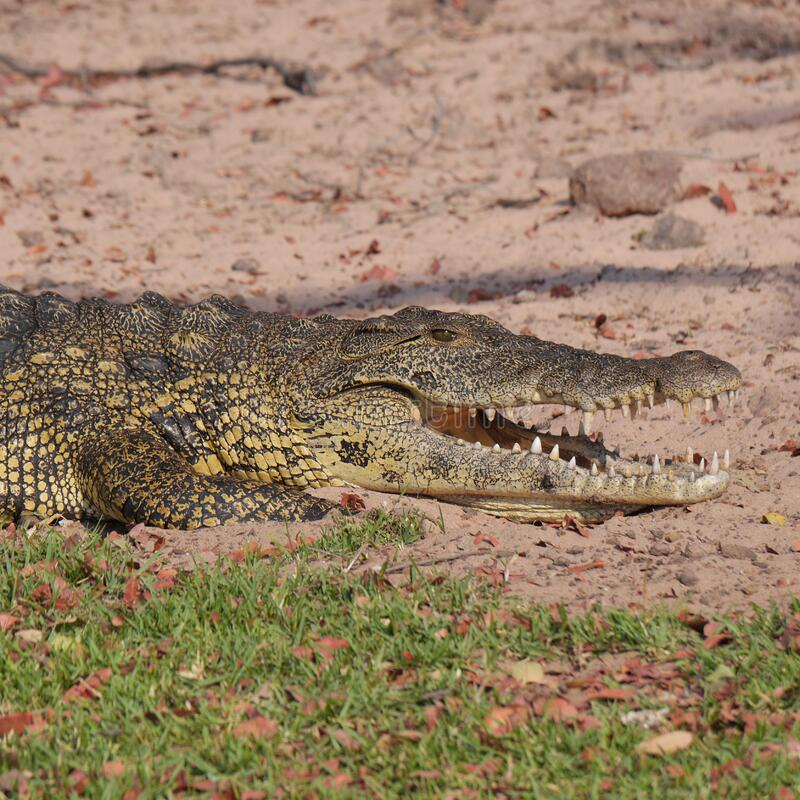 Grey and Yellow Crocodile Crawling With Open Mouth during Daytime royalty free stock photo