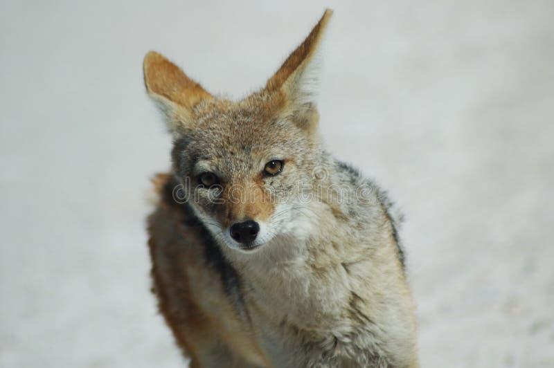Greyback лисицы etosha