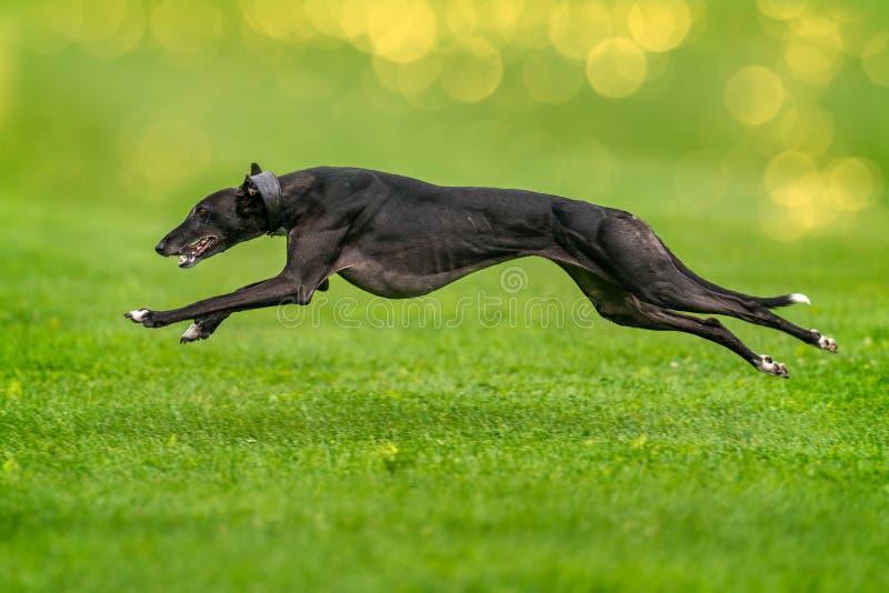 Greyhound είναι runnig γρήγορα στοκ εικόνες