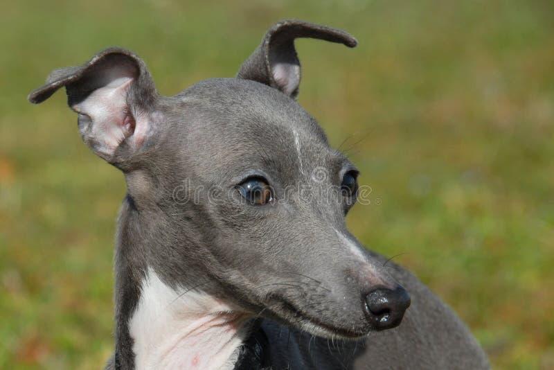 greyhound ιταλικά στοκ φωτογραφία