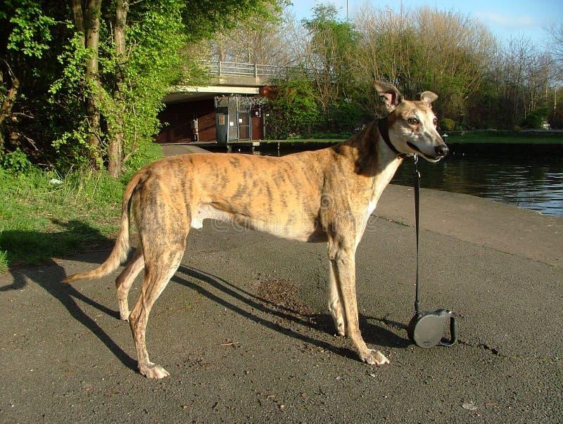 greyhound καταγωγή στοκ φωτογραφία
