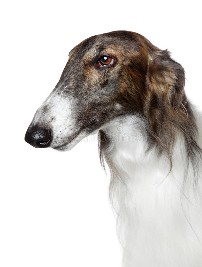 greyhound ρωσικά σκυλιών borzoi στοκ φωτογραφία με δικαίωμα ελεύθερης χρήσης