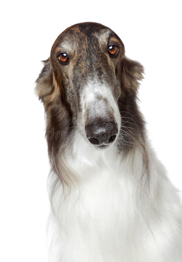 greyhound ρωσικά σκυλιών borzoi στοκ εικόνα