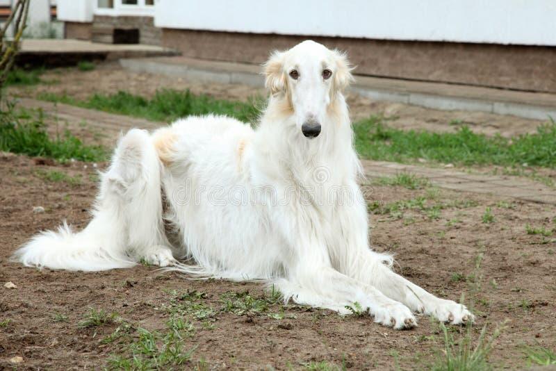 greyhound ρωσικά σκυλιών borzoi στοκ εικόνες