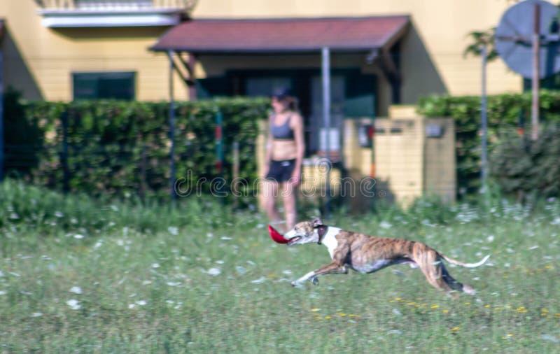 Greyhound σε μια φυλή δεσμευμένη να φέρει το frisbee πίσω στον κύριό του έτσι μπορεί άλλη μια φορά να το χαράξει και να το πιάσει στοκ φωτογραφίες