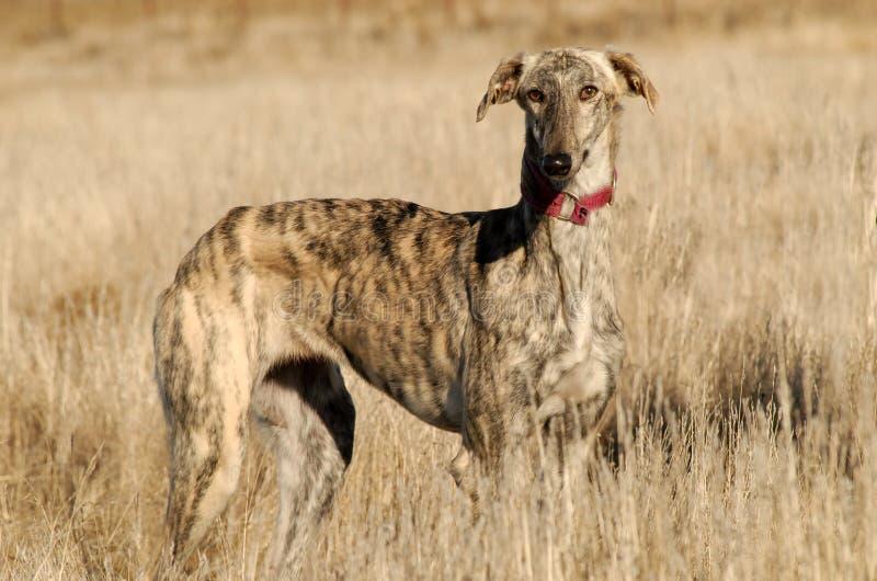 Greyhound στους τομείς στοκ φωτογραφία με δικαίωμα ελεύθερης χρήσης