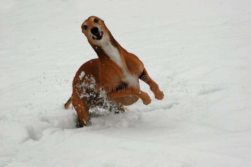 Greyhound stock image