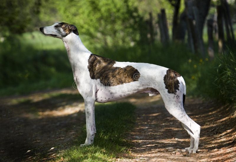 Greyhound. Male standing in the show posittion