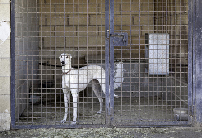 Greyhound caged stock images