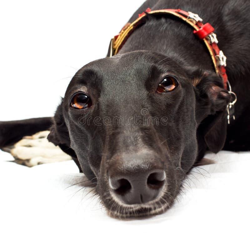Free Greyhound Closeup Stock Photography - 22137032