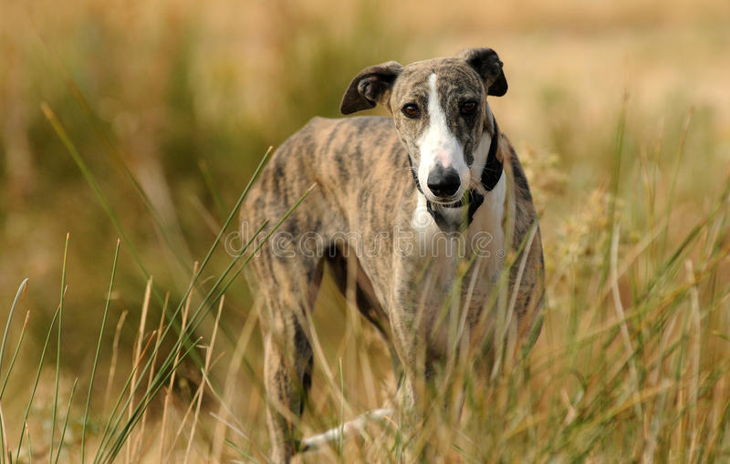 Greyhound dog in the countryside stock photos