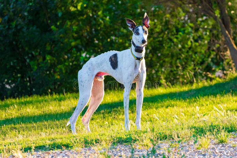 Greyhound dog of white color and black specks. stock images