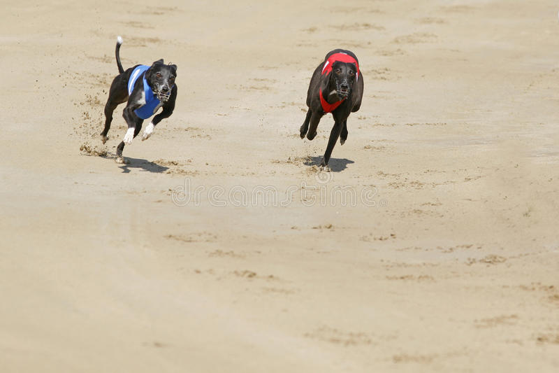 Greyhound dogs racing at dog race court stock image