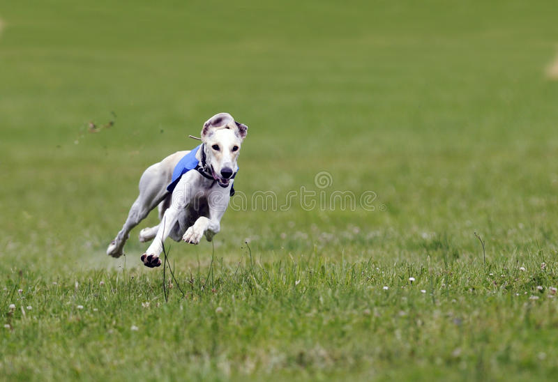 Greyhound at full speed stock photography