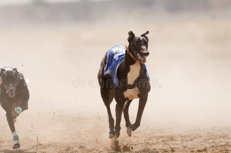 Greyhound at full speed stock images