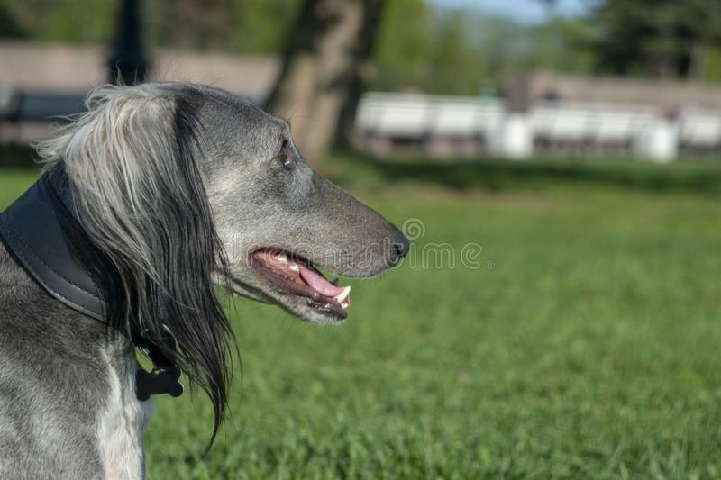 Greyhound after a long run resting on the grass. Close-up. Summer sunny day. Place for text stock photo