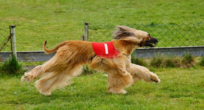 Greyhound racing royalty free stock photography