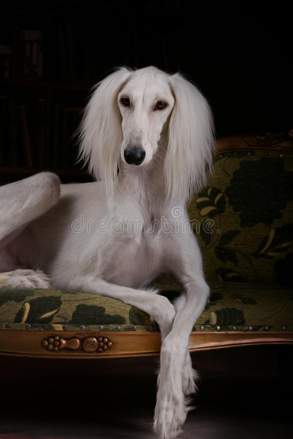 Greyhound saluki dog portrait. In black background royalty free stock images