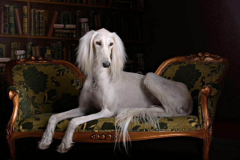 Greyhound saluki in Royal interior. Greyhound saluki dog in beutiful Royal interior stock image